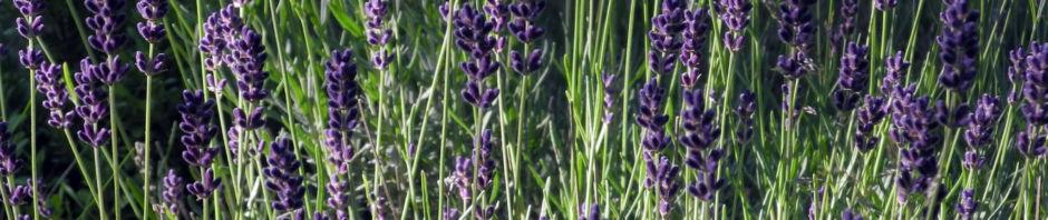echter-lavendel-bluete-lila-lavandula-officinalis