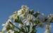 Zurück zum kompletten Bilderset Echter Meerkohl Blüte weiß Crambe maritima