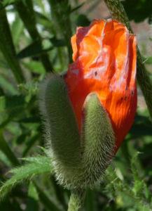 Echter Orient Mohn Bluete orange rot Papaver orientale 01