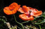 Echter Orient Mohn Bluete orange rot Papaver orientale 05