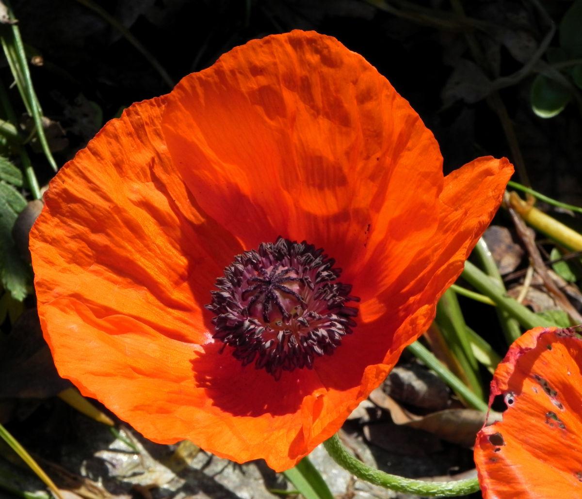 Echter Orient Mohn Bluete orange rot Papaver orientale
