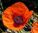 Echter Orient Mohn Bluete orange rot Papaver orientale 07