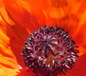 Echter Orient Mohn Bluete orange rot Papaver orientale 08