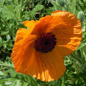 Echter Orient Mohn Bluete orange rot Papaver orientale 09