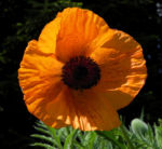Echter Orient Mohn Bluete orange rot Papaver orientale 10