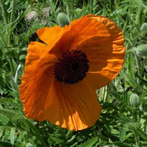Echter Orient Mohn Bluete orange rot Papaver orientale 12