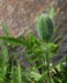 Zurück zum kompletten Bilderset Echter Orient Mohn Blüte orange rot Papaver orientale