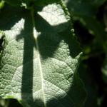 Echter Salbei Blatt gruen Salvia officinalis 02