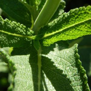 Echter Salbei Blatt gruen Salvia officinalis 03