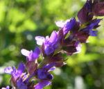 Echter Salbei Bluete lila Salvia officinalis 03