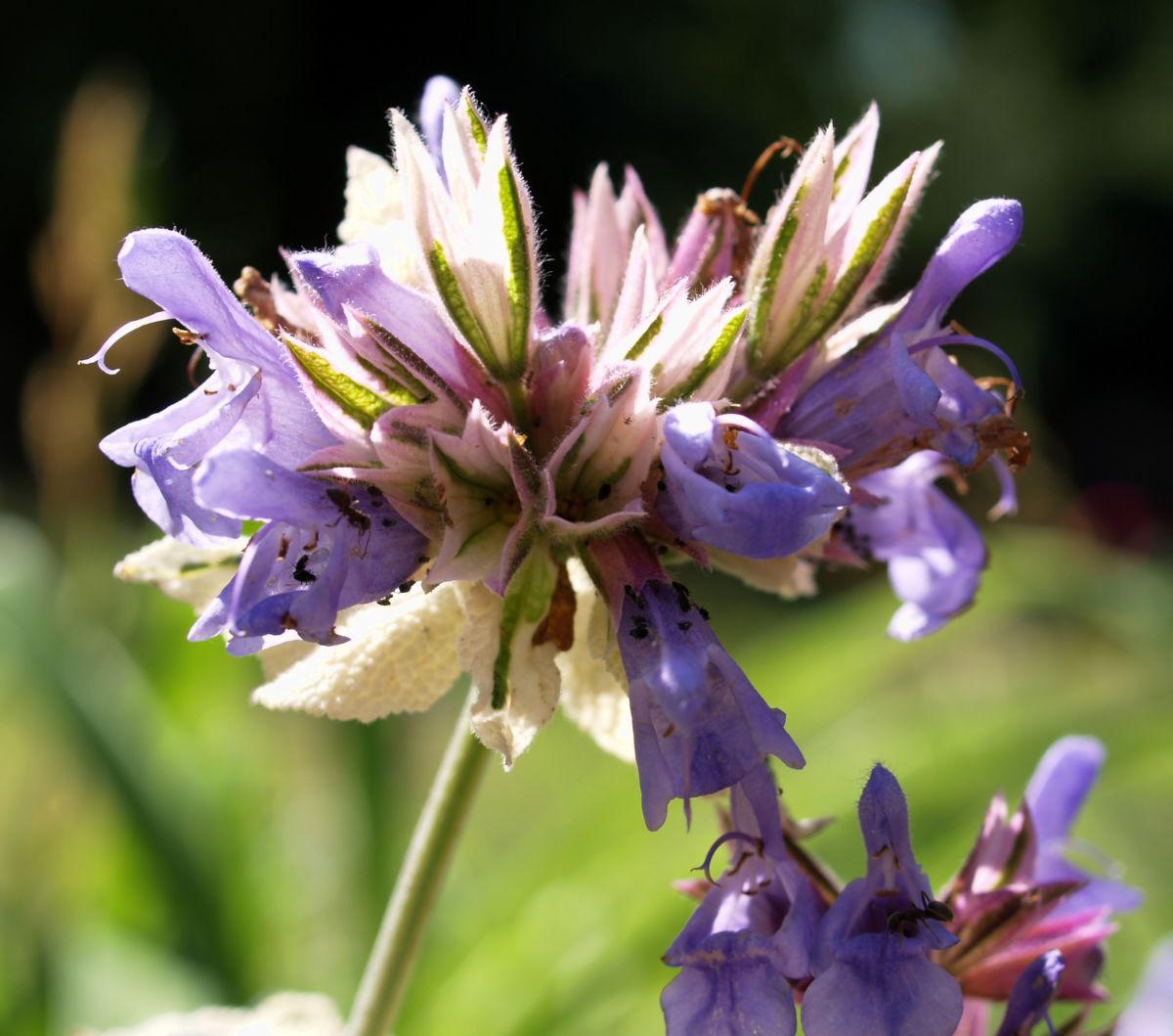 Echter Salbei Bluete lila Salvia officinalis