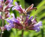 Echter Salbei Bluete lila Salvia officinalis 06