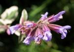 Echter Salbei Bluete lila Salvia officinalis 08