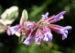 Zurück zum kompletten Bilderset Echter Salbei Blüte lila Salvia officinalis