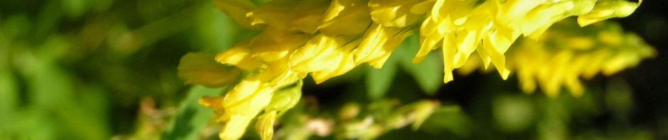 echter-steinklee-bluete-gelb-melilotus-officinalis
