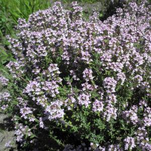 Echter Thymian Bluete rose Thymus vulgaris 02