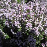 Echter Thymian Bluete rose Thymus vulgaris 03