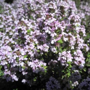 Echter Thymian Bluete rose Thymus vulgaris 04