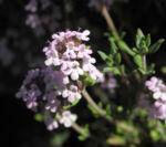 Echter Thymian Bluete rose Thymus vulgaris 05