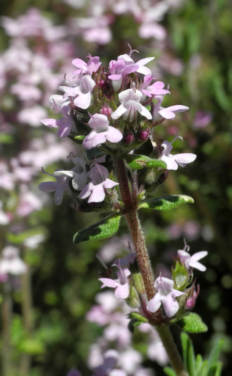 Echter Thymian Bluete rose Thymus vulgaris