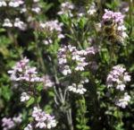 Echter Thymian Bluete rose Thymus vulgaris 09