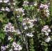Zurück zum kompletten Bilderset Echter Thymian Blüte rose Thymus vulgaris