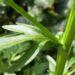 Zurück zum kompletten Bilderset Echtes Barbarakraut gelbe Blütendolde Barbarea vulgaris