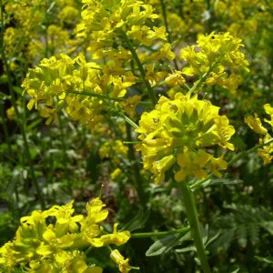 Echtes Barbarakraut gelbe Bluetendolde Barbarea vulgaris 03