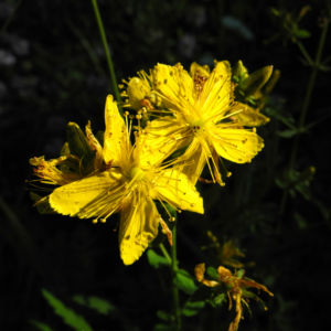 Echtes Johanniskraut Bluete gelb Hypericum perforatum 01