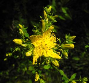 Echtes Johanniskraut Bluete gelb Hypericum perforatum 02