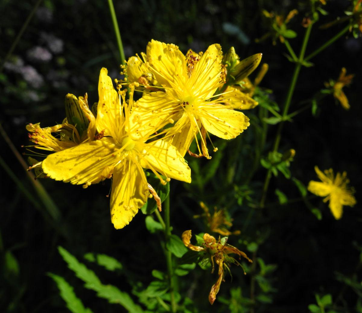 Echtes Johanniskraut Bluete gelb Hypericum perforatum