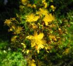 Echtes Johanniskraut Bluete gelb Hypericum perforatum 05