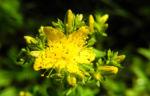 Echtes Johanniskraut Bluete gelb Hypericum perforatum 09