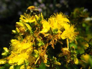 Echtes Johanniskraut Bluete gelb Hypericum perforatum 10
