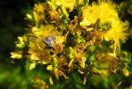 Echtes Johanniskraut Bluete gelb Hypericum perforatum 11