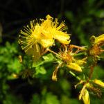 Echtes Johanniskraut Bluete gelb Hypericum perforatum 12