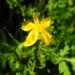 Zurück zum kompletten Bilderset Echtes Johanniskraut Blüte gelb Hypericum perforatum