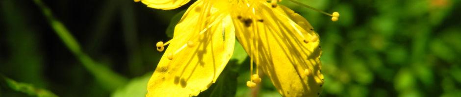Anklicken um das ganze Bild zu sehen  Echtes Johanniskraut Blüte gelb Hypericum perforatum
