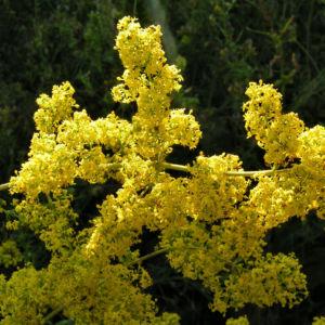 Bild: Echtes Labkraut Bluete gelb Galium vernum