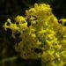 Zurück zum kompletten Bilderset Echtes Labkraut Blüte gelb Galium verum