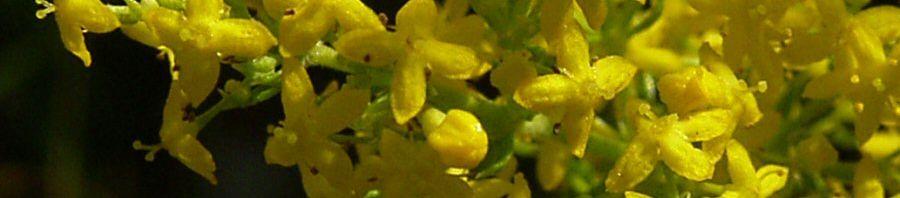 Anklicken um das ganze Bild zu sehen Echtes Labkraut Blüte gelb Galium verum