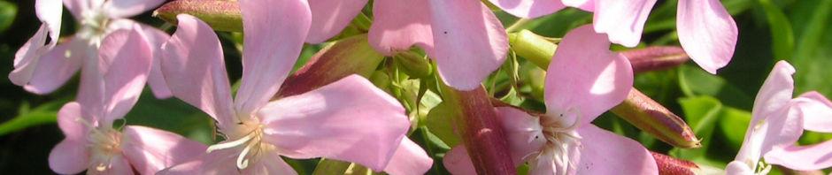 echtes-seifenkraut-bluete-hellrosa-saponaria-officinalis