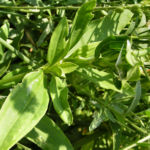 Echtes Seifenkraut Bluete hellrosa Saponaria officinalis 04