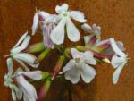 Echtes Seifenkraut Bluete hellrosa Saponaria officinalis 06