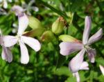 Echtes Seifenkraut Bluete hellrosa Saponaria officinalis 09