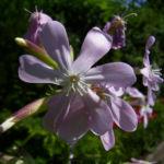 Echtes Seifenkraut Saponaria officinalis 01
