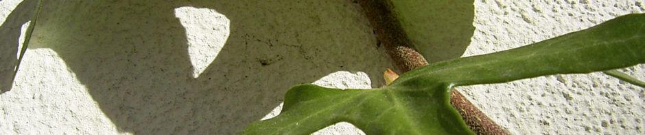 Anklicken um das ganze Bild zu sehen Gemeiner Efeu Blatt grün schmal Hedera helix