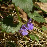 Efeu Gundermann Bluete Glechoma hederacea 01
