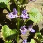 Efeu Gundermann Bluete Glechoma hederacea 02