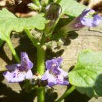 Efeu Gundermann Bluete Glechoma hederacea 03